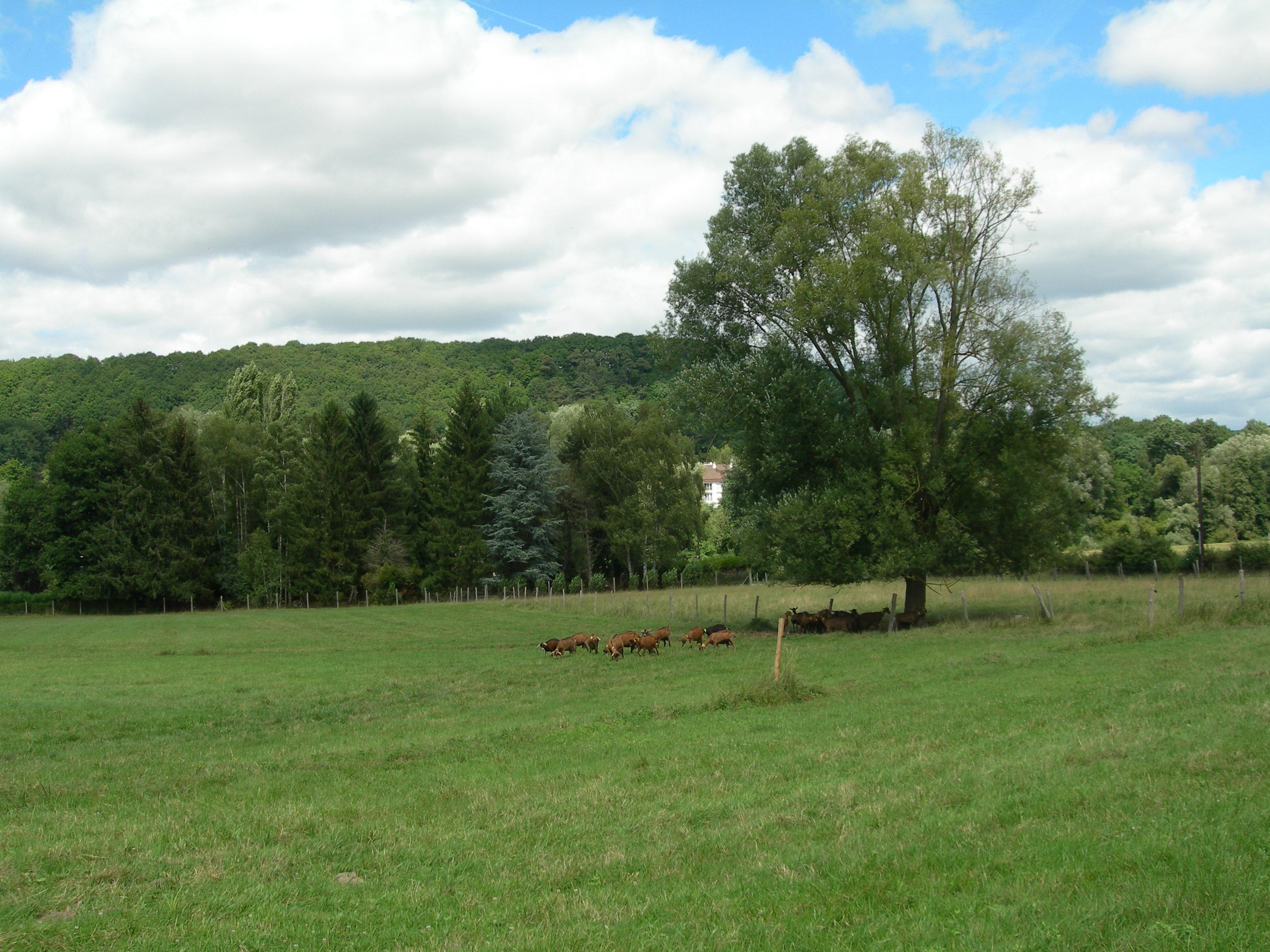 Chèvres de Chevreuse